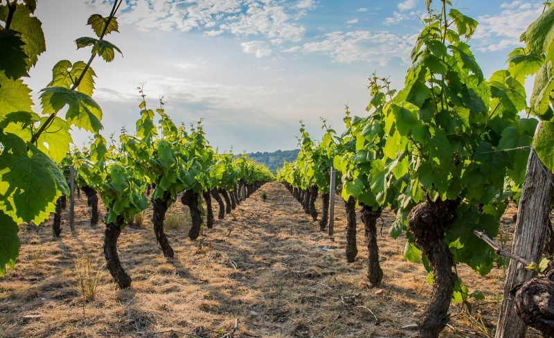 vigne beaujolais gamay